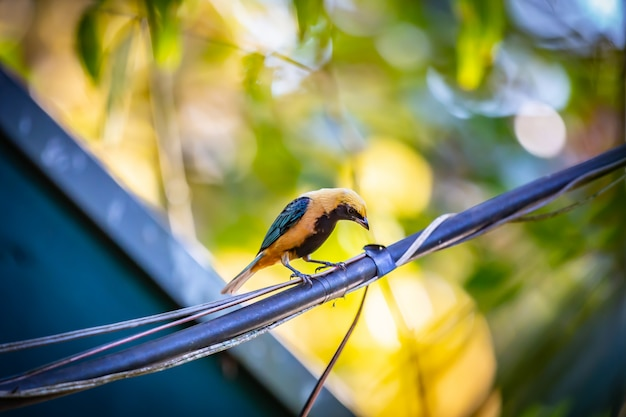 Brüniert-buff tanager (tangara cayana) aka saira amarela vogel stehend auf einem draht
