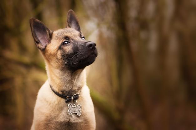 Brütender belgischer schäferhund mit einem lustigen kragen