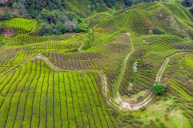 Brummenansicht der teeplantage in cameron-hochländern, malaysia