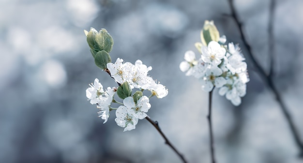 Brunch des blühenden frühlingsbaums. weiches bild des blühenden baumbrunchs mit weißen blumen