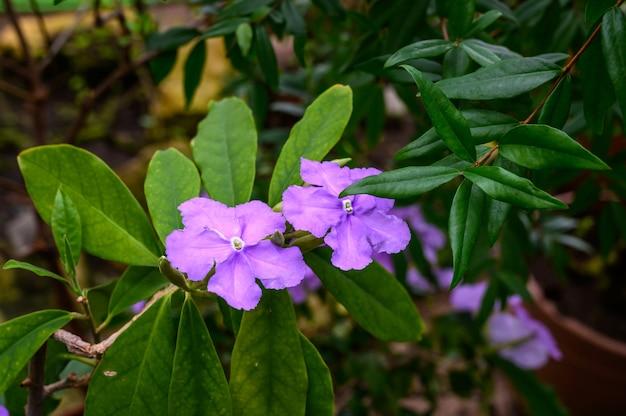 Brunfelsia. die gattung der nachtschattengewächse. wunderbare pflanzenwelt. botanischer garten.