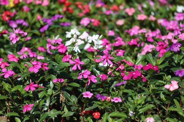Brunnenkresse blumenblume blühen im blumengarten.