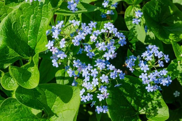 Brunnera macrophylla, der sibirische bugloss, große vergissmeinnicht, große blattbrunnera oder herzblatt, ist eine blütenpflanzenart aus der familie der boraginaceae.