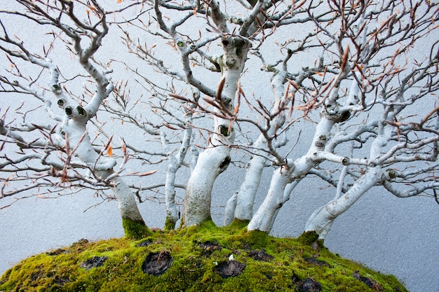 Buche bonsai
