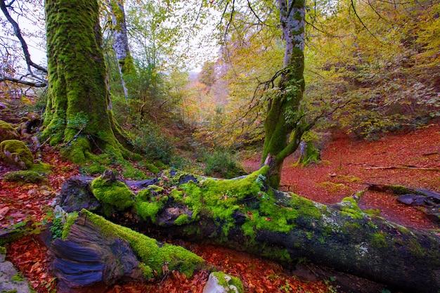 Buchen-dschungel autumn selva de irati in navarra pyrenees spain
