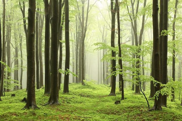 Buchen im frühlingswald auf einem berghang bei nebligem, regnerischem wetter
