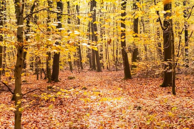 Buchenwald im herbst mit seinen hübschen goldenen farben