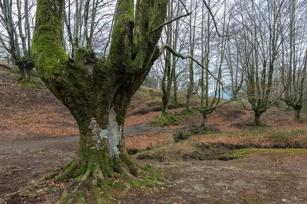 Buchenwald otzarreta. gorbea naturpark. spanien.