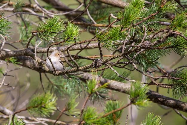 Buchfinken (fringilla coelebs) im bujaruelo-tal, ordesa y monte perdido nationalpark.