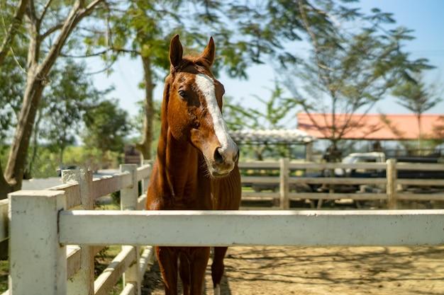 Bucht-pferd, das am hölzernen zaun der spalten-schiene in der weide am landschaftsbauernhof steht.
