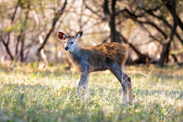 Buck in wildlife