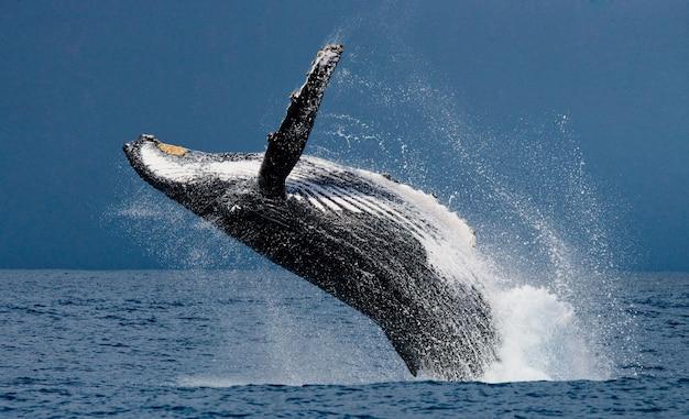 Buckelwal springt aus dem wasser. schöner sprung. . madagaskar. st. mary's island.