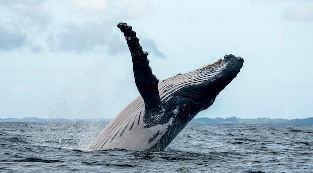 Buckelwal springt aus dem wasser
