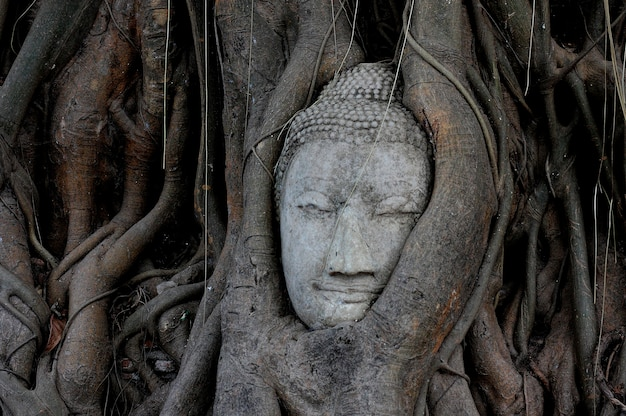 Buddha-kopf überwältigt durch feigenbaum in wat mahathat ayutthaya historischem park