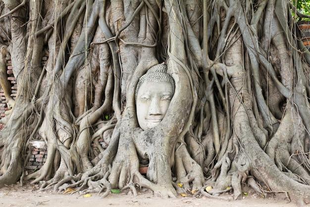 Buddha-kopf überwältigt durch feigenbaum in wat mahathat