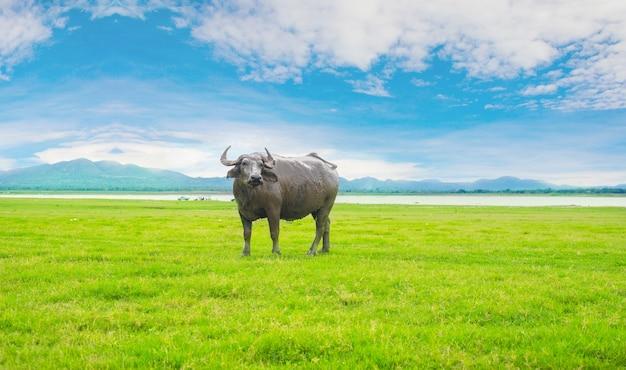 Büffel befleckt in den grünen grasfeldern