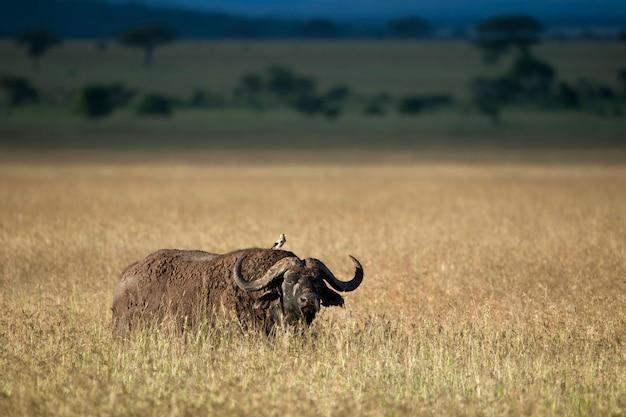 Büffel im serengeti-nationalpark