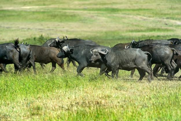 Büffel in einem natürlichen lebensraum. afrika
