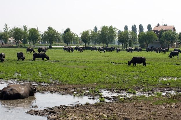 Büffel in einem schlammigen wasser