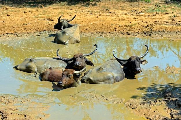 Büffel in freier wildbahn auf der insel sri lanka