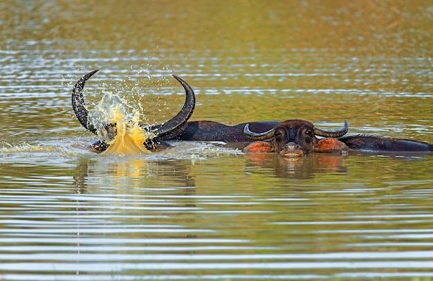 Büffel in freier wildbahn auf der insel sri lanka Premium Fotos