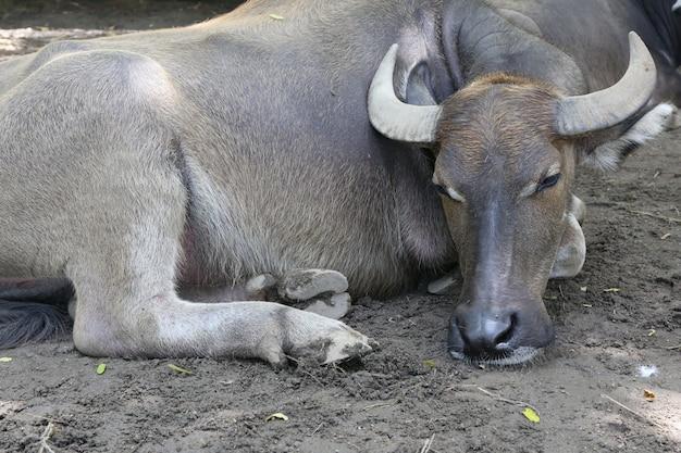 Büffel, wasserbüffel