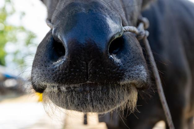 Büffelmund und -nase, die gras auf dem bauernhoffleisch essen