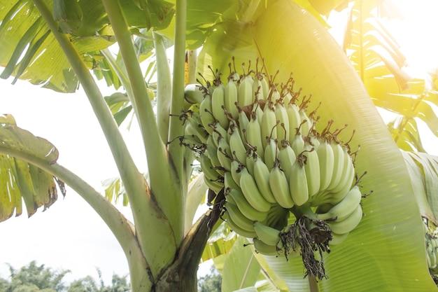 Bündel bananen auf baum.