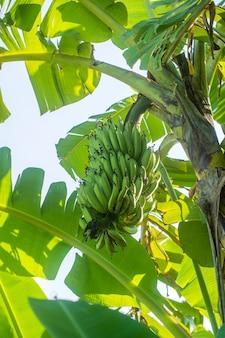 Bündel grüne bananen auf bananenpalme im tropischen garten. insel bali, indonesien