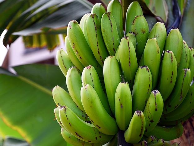 Bündel grüne bananen, die in einem tropischen garten wachsen.