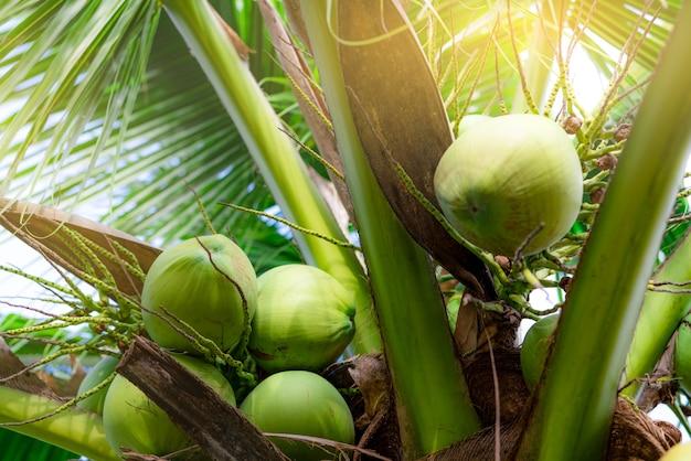 Bündel kokosnuss auf kokosnussbaum. tropische frucht. palme mit grünen blättern und früchten. kokosnussbaum in thailand. kokosnussplantage. landwirtschaftliche farm. bio-getränk für den sommer. exotische pflanze.