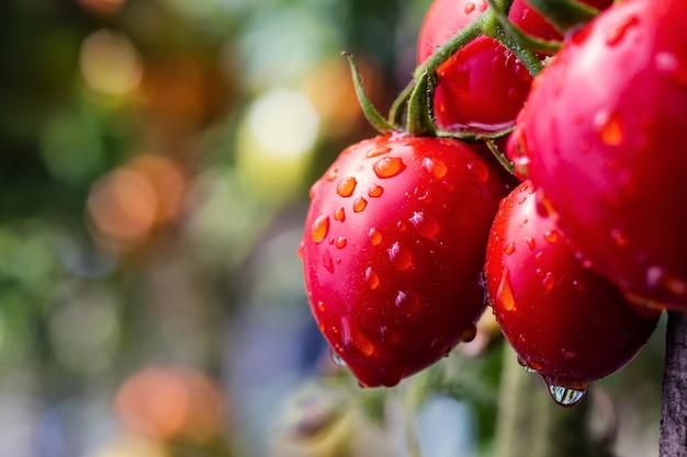 Bündel reifer natürlicher kirschroter tomaten in wassertropfen, die in einem gewächshaus wachsen, das bereit ist zu pflücken
