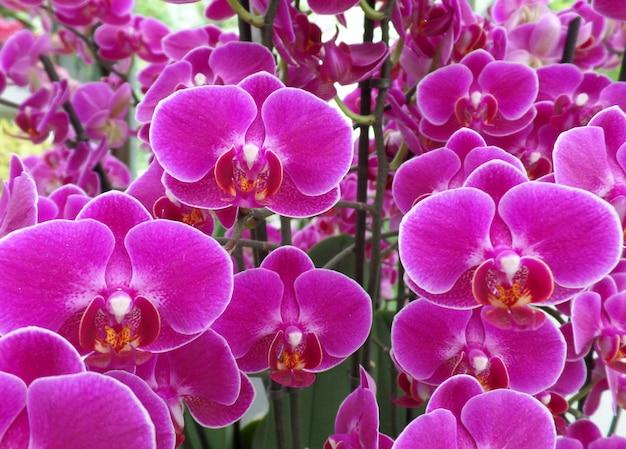 Bündel schockierende rosa farbe blühende orchidee blüht, für hintergrund