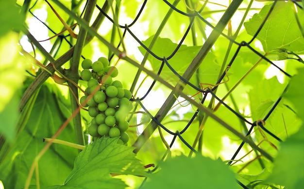 Bündel unreifer grüner trauben schließen im selektiven fokus am sonnigen tag