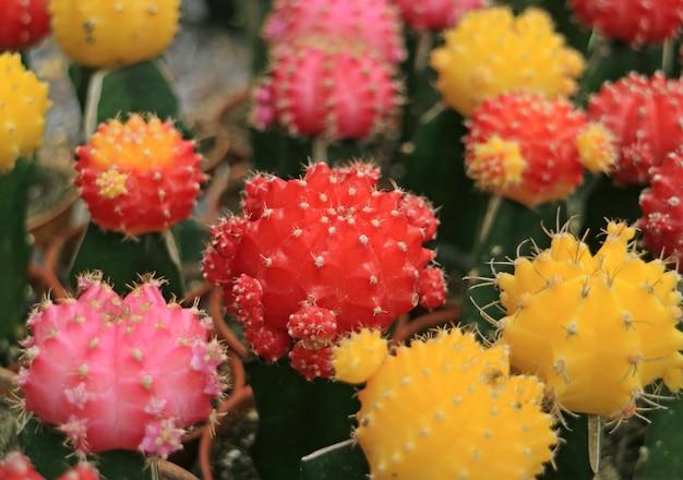 Bündel vibrierende rote, rosa, gelbe minikaktuspflanzen