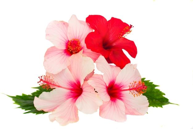 Bündel von hibiskusfluss isoliert