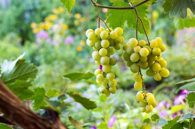 Bündel weiße trauben, die im weinberg hängen