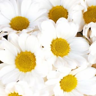Bündel weißer gänseblümchen-naturfrühling