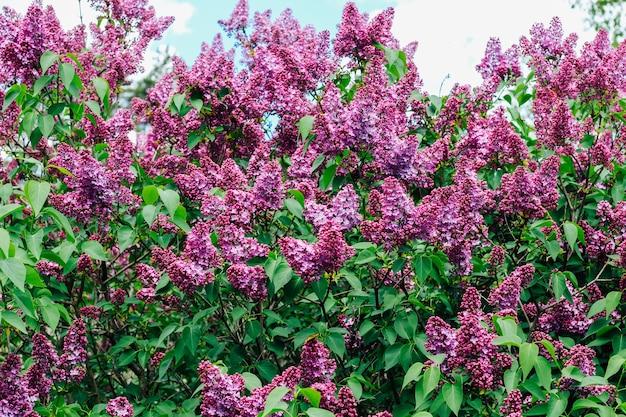 Büsche von flieder üppig blühende flieder im frühjahr gegen den himmel.
