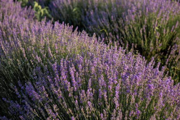 Büsche von lavendel lila aromatischen blüten