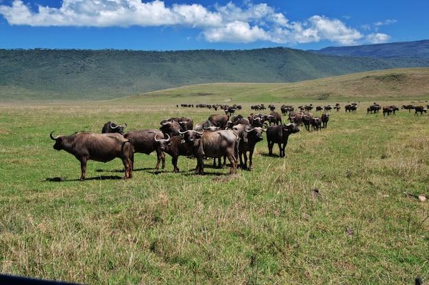 Buffalo auf safari in kenia und tansania, afrika