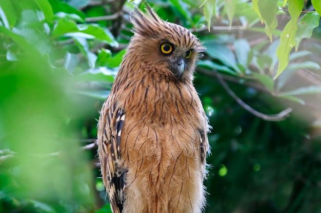 Buffy fisch-eule ketupa ketupu schöne vögel von thailand