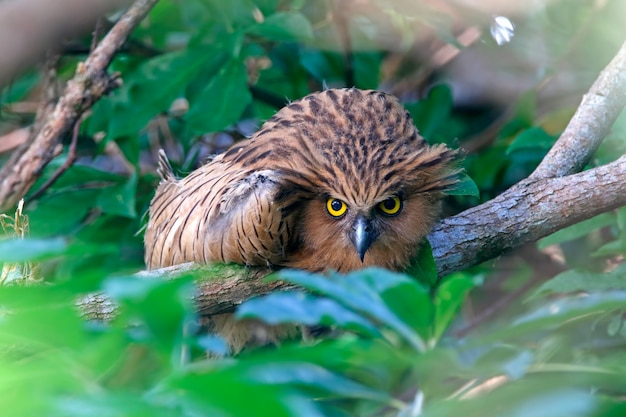 Buffy fish-eule ketupa ketupu beautiful birds stare