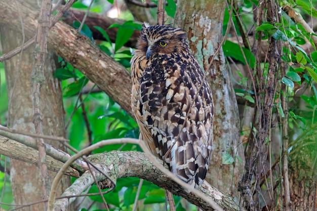 Buffy fish-owl ketupa ketupu schöne vögel von thailand