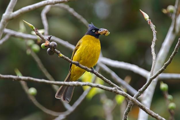 Bulbul pycnonotus flaviventris der schwarzen haube vögel, die eine frucht essen