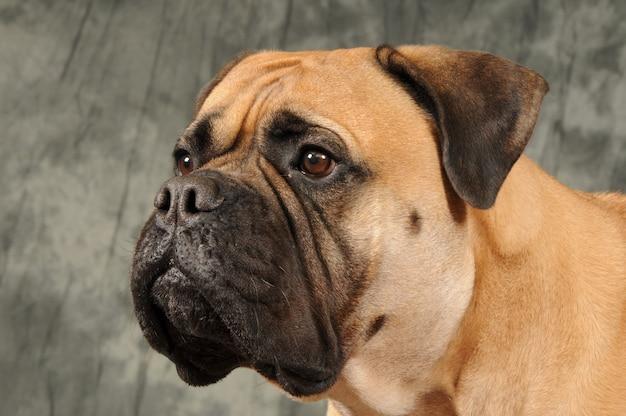 Bulldogge hund porträt