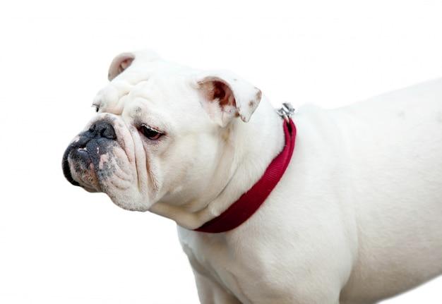 Bulldogge isoliert auf weiss