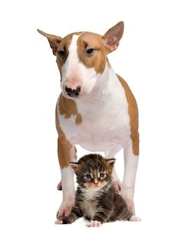 Bullterrier und eine katze isoliert