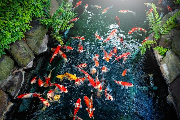 Bunt vom schwimmen des fantastischen karpfens (fischjapaner) im teich auf dem garten