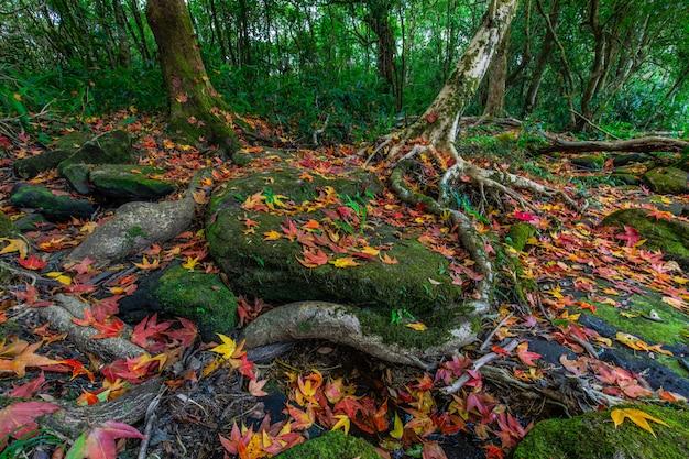 Bunt von den ahornblättern auf den grünen felsen in der herbstsaison im phu-luang-naturschutzgebiet, thailand.